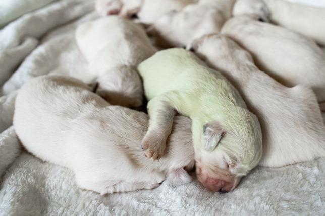 Trächtigkeit von Hunden vom Beginn bis zur Betreuungsphase, wie können wir helfen?